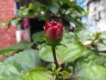 Hibiscus-Blume u. x28; Joba Phool& x29; Stockfoto