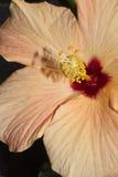 Hibiscus - Blume und Pistils Lizenzfreie Stockfotografie