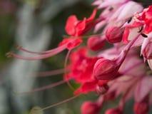Hibiscus-Blumenblühen des Babys rotes Lizenzfreie Stockbilder