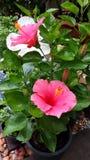 Hibiscus bonito Foto de Stock
