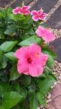 Hibiscus bonito Fotografia de Stock