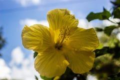 yellow hibiscus tones royalty free stock photos