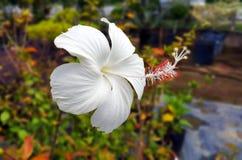 Hibiscus branco Imagens de Stock
