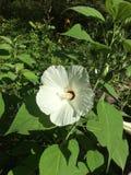 Hibiscus branco Fotografia de Stock Royalty Free