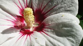 Hibiscus branco Fotos de Stock