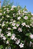 Hibiscus branco Bush Imagens de Stock Royalty Free