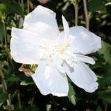 Hibiscus branco, flor na flor completa, close-up Fotos de Stock Royalty Free