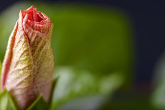 Hibiscus bud Royalty Free Stock Images