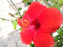 Hibiscus. Or Bunga Raya in Malay is used as a symbol of peace in the region to drive the peace under the political unrest that occurred in three southern Stock Photography