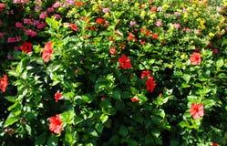 Hibiscus bush stock photos