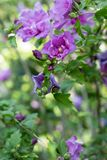 A hibiscus bush blooming with purple flowers in the garden - Hibiscus syriacus LAVENDER CHIFFON. Beautiful hibiscus bush blooming with purple flowers in the stock photo