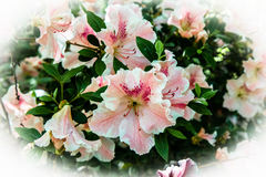 Hibiscus Bush. Bright pink hibiscus bush with ~10 open blossoms Stock Images