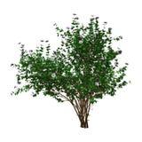 hibiscus Bush da rendição 3D com as flores no branco Imagens de Stock