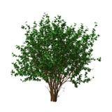 hibiscus Bush da rendição 3D no branco Fotografia de Stock Royalty Free
