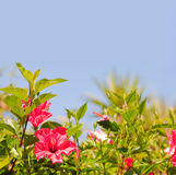 Hibiscus bush with flowers against blue sky Royalty Free Stock Images