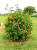 Hibiscus bush Stock Image