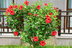 Hibiscus bush in front of house Stock Photography