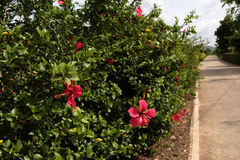 Hibiscus bush stock image