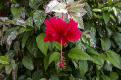 Hibiscus Bush with Red Flower and Variegated Leaves. Royalty Free Stock Images