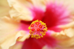 Hibiscus center Royalty Free Stock Photography