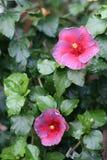 Hibiscus chinês foto de stock