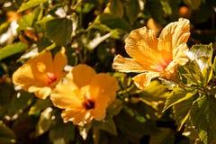 Hibiscus chinês Foto de Stock Royalty Free