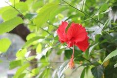 Hibiscus China Rose Flower in Inwoner van Bangladesh Tuin stock fotografie