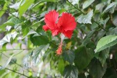 Hibiscus China Rose Flower in Inwoner van Bangladesh Tuin stock afbeeldingen