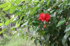Hibiscus China Rose Flower in Inwoner van Bangladesh Tuin royalty-vrije stock fotografie