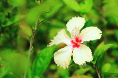 Hibiscus or Chinese rose or Hibiscus rosa sinensis flower. In the nature or in the garden Stock Photography