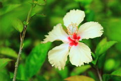 Hibiscus or Chinese rose or Hibiscus rosa sinensis flower. In the nature or in the garden Royalty Free Stock Image