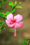 Hibiscus or Chinese rose or Hibiscus rosa sinensis flower Stock Image