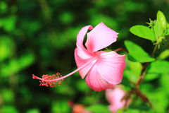 Hibiscus or Chinese rose or Hibiscus rosa sinensis flower. In the nature or in the garden Stock Image