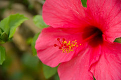 Hibiscus (close up). Vivid red hibiscus, close up Stock Photography