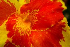 A Hibiscus flower swirling in bright yellow and orange. stock photos