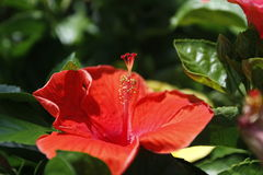 Hibiscus. Close up of hibiscus flower Royalty Free Stock Photography