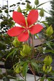 Hibiscus coccineus. Is a parting fauna of the family Odaiaceae also called Scarlet rosemallow. Brilliant red flowers bloom on the stem which stood upright in Royalty Free Stock Photo
