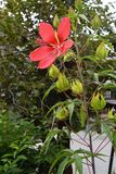 Hibiscus coccineus. Is a parting fauna of the family Odaiaceae also called Scarlet rosemallow. Brilliant red flowers bloom on the stem which stood upright in Stock Photography