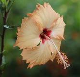 Hibiscus colorido pêssego Imagem de Stock Royalty Free