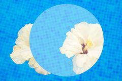 Hibiscus in cool water. White multipetal hibiscus in cool water of tiled pool abstract summer background Stock Images
