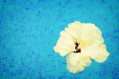 Hibiscus in cool water Stock Image