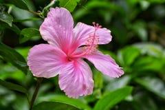 Hibiscus cor-de-rosa - 2 Fotos de Stock