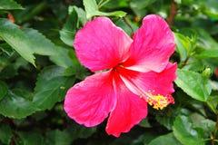 Hibiscus cor-de-rosa Imagem de Stock