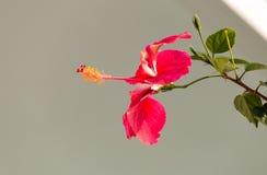 Hibiscus cor-de-rosa fotografia de stock royalty free