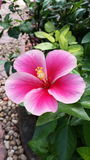 Hibiscus cor-de-rosa bonito Fotografia de Stock Royalty Free