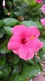 Hibiscus cor-de-rosa brilhante Fotografia de Stock Royalty Free