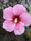 Hibiscus cor-de-rosa do Seminole fotos de stock