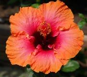 Hibiscus cor-de-rosa e alaranjado Fotos de Stock Royalty Free
