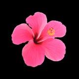 Hibiscus cor-de-rosa isolado no fundo preto Imagens de Stock