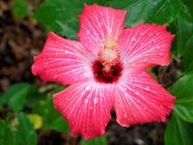 Hibiscus cor-de-rosa na flor Foto de Stock